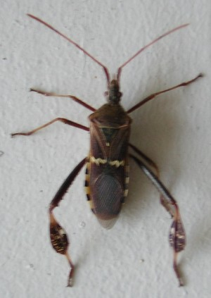 "Only the ""Field Guide to Insects and Spiders"" succeeded in identifying this as a Western Leaf-footed Bug"