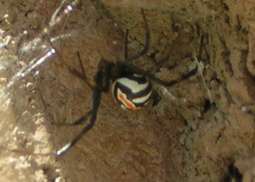Internet resources lead me to believe this is a juvenile female Black Widow spider
