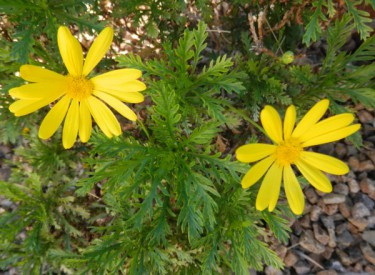 Hello world!  Daisies filler with sunshine. Photo by Diane Taylor