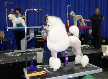 Grooming competitions are a staple at SuperZoo.  Here   the finished products stand at attention for the judges.  Photo by Diane Tayor