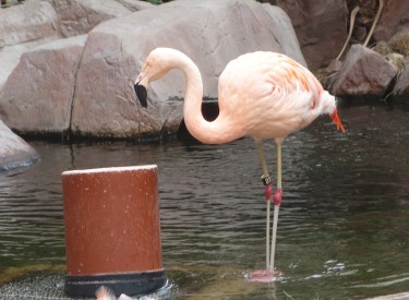 single Flamingo