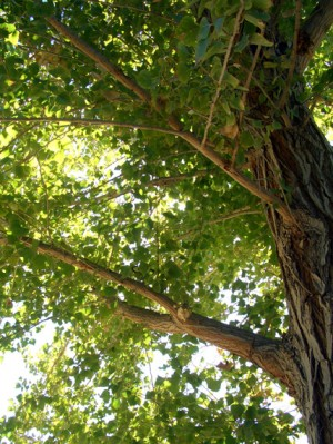 A breeze in the cottonwoods