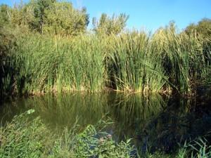 Reed-ringed pond in Wetlands Park