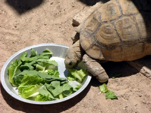 Feeding time for the zoo's leopard tortoise