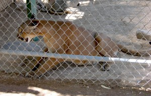 Chain-link cages allow visitors to get quite close to this mountain lion