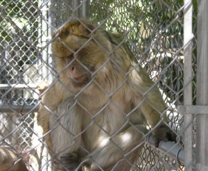 The matriarch of the only Barbary ape family in the United States
